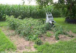 our asparagus bed is located on some gently sloping ground at the corner of our property that in the past has grown acceptable crops of tomatoes and