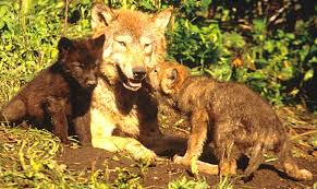 black wolf and white wolf pups. Exellent Pups Wolf Pups In Black And White W