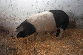 Pneumonia virala a porcului (VPP)