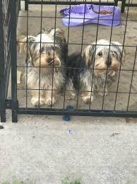 playful loving pure breed yorkie kansas city ks dogs puppies