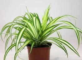 Chlorophytumcomosum - Spider Plant