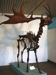 extinction of animals essay protecting the species act species  irish elk