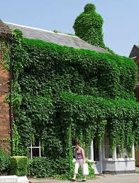 Ivy-covered house in Old Beaconsfield