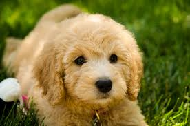 goldendoodle golden retriever poodle mix sad puppy
