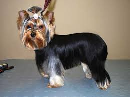yorkie hairstyle for males image