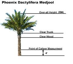 Palm Tree Chart Learn Accurate Ways To Measure Palms Artistree Artistree