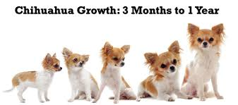 Papillon Growth Chart Chihuahua Puppy Growth Chart Puppy Growth Chart Long