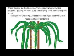 How To Plant Dragon Fruit In Pots  YouTubeHow To Take Care Of Dragon Fruit Tree