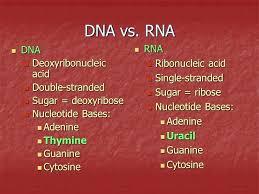 Venn Diagram Comparing Dna And Rna Dna And Rna Venn Diagram Cashewapp Co