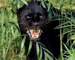 Image result for black panthers animal