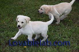see the boy lab puppies for here