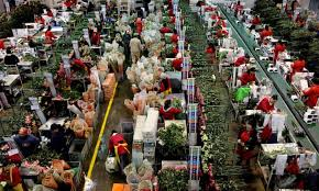 Gifts and flowers for international delivery. The Women Suffering For Your Valentine S Day Flowers Guardian Sustainable Business The Guardian