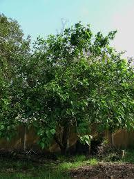 Buy Weeping Mulberry Trees  Morus Alba PendulaTeas Weeping Fruiting Mulberry Tree