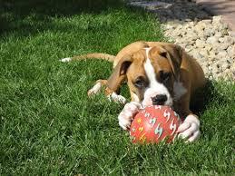 Resultado de imagen para raza de perro boxer