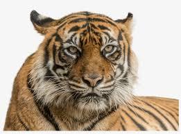 vector freeuse stock sumatran national zoo aquarium tiger face hd png transpa png