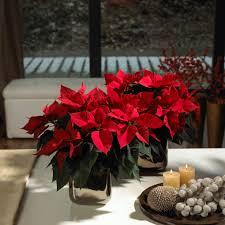 Zauberhafte Weihnachtssterne Blühende Vielfalt Für Alle