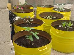 Salalah's LID plans converted 50 used oil drums into pots for frankincense  saplings