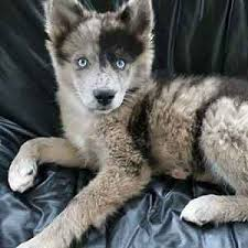 australian shepherd husky mix puppies. Husky Australian Shepherd Mix Weight And Puppies