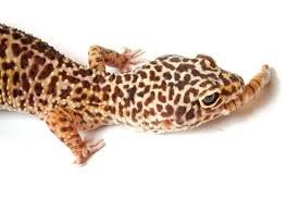 Leopard Gecko Age Chart Leopard Gecko Care Sheet