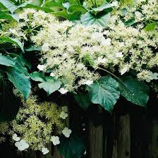 Climbing Plant For Shade