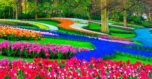 Risultati immagini per fioritura tulipani keukenhof