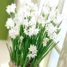 White Paper Flower Bulbs Paper White Bulbs For Sale Casadulce Co