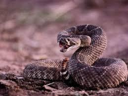 rattlesnake strike pose.  Rattlesnake Mojave Green Rattlesnake Strike  Google Search And Rattlesnake Strike Pose A