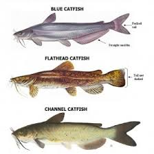 Catfish Chart How To Catch Catfish Our Top 5 Tips