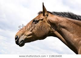 draft horse head profile. Perfect Draft Chestnut Horseu0027s Head Profile To Draft Horse Head Profile R