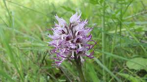 Orchis simia - Cyprus - YouTube