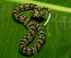 Youth development and the jr. Mang Mountain Pit Viper San Diego Zoo Kids