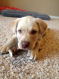 yellow lab with blue eyes. Fine Eyes My Yellow Lab Puppy With Blue Eyes In With Blue Eyes O