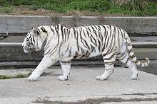 white tiger. Beautiful Tiger White Tiger Intended Tiger A