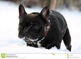 french bull dog stock photography  image