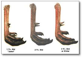 Spur Size Chart The Wild Turkey Zone Aging Gobblers Spur Length