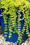 Images & Illustrations of creeping Jenny