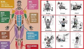 best exercises for major muscle groups