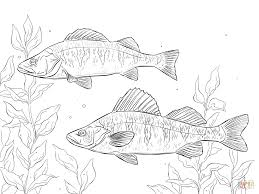 Small Picture Yellow Perch coloring page Free Printable Coloring Pages
