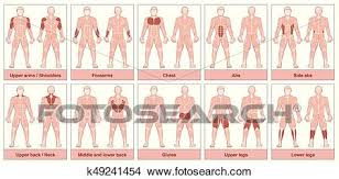 Muscle Groups Chart Clipart K49241454 Fotosearch