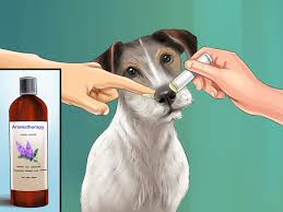3 Ways To Live With A Hyper Jack Russell Terrier Wikihow