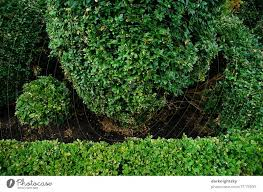 buxus sempervirens style a royalty