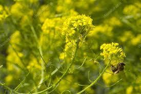 Image result for senape flowers