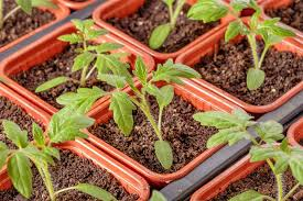Tomato Seed Growth Chart Best Temperatures For Seed Germination Allotment Gardens