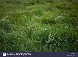 tall green grass field. Field Of Tall Green Grass Flowing In The Wind I