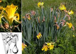 Narcissus pseudonarcissus L. subsp. pseudonarcissus - Sistema ...