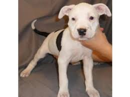 white pitbull terrier puppies. Perfect Terrier American Pit Bull Terrier Puppies 36684 Miles On White Pitbull