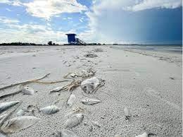 Red tide status in Sarasota, Manatee ...