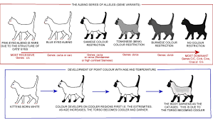 Burmese Kitten Weight Chart Colour And Pattern Charts Cat Colors Cat Breeds Cat