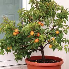 10 Tips On Growing Dwarf Fruit Trees  Dwarf Cherry Tree Fruit Dwarf Fruit Trees Virginia