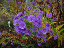 Small Picture Design Real Life Garden Solutions Fall Asters idolza